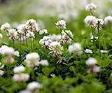 Weißklee Bodenkur von bobby-seeds, staudige Gründüngung/Bodendecker 1 Kg